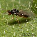 Wasp - Euplectrus