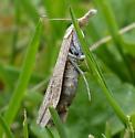 A  Crambine Snout Moth (Crambinae)?