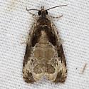Moth IMG_5487 - Olethreutes connectum