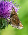 Skipper butterfly 2 - Lerema accius