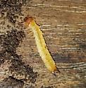 Suspected Schizotus cervicalis