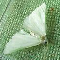 white and green moth - Ennomos subsignaria