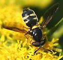 Syrphid - Hoplitimyia constans - male
