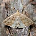 Zanclognatha jacchusalis - Zanclognatha