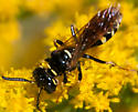 Glossy Bee, Wasp? - Philanthus bilunatus