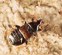 Minute Pirate Bug - Xylocoris cursitans