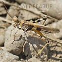 Grasshopper with Parasites? - Conozoa sulcifrons - male