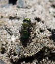 Green Bee - Osmia - female