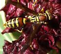 Paper wasp - Polistes exclamans