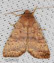 Moth - Sunira bicolorago