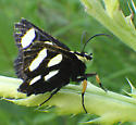 Noctuidae, Eight-spotted Forester, lateral - Alypia octomaculata