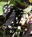 Ranchman's Tiger Moth - Platyprepia virginalis