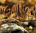 Slime Mold Beetles