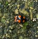 orange-spotted beetle - Mycetina perpulchra