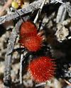Mutillid - Dasymutilla aureola - female