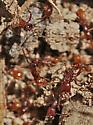 The other northern army ant - Neivamyrmex opacithorax