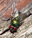 Common Green Bottle Fly ? - Neomyia cornicina - male