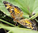 unidentified butterfly in clearing in the woods - Phyciodes tharos - female