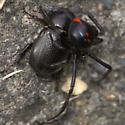Rhinoceros Beetle - Euetheola rugiceps