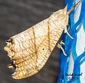 Moth - Drepana bilineata