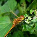 Brown Dragonfly - Sympetrum semicinctum