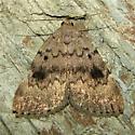 Idia or Owlet Moth - Idia aemula