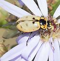What kind of Beetle? - Hippodamia