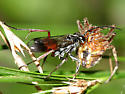 spider wasp carying it's prey - Caliadurgus fasciatellus