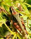Reddish green Hopper - Melanoplus sanguinipes - female