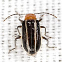 Flea Beetle - Acalymma vinctum
