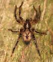 Spider - Anyphaena aperta