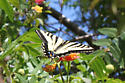 Western tiger swallowtail (Papilio rutulus) - Papilio rutulus - male