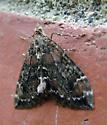 Carpet Moth - Dysstroma
