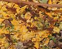 Harvester Ants - Acromyrmex versicolor