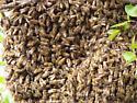 Honeybees swarming - Apis mellifera