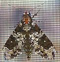 Moth for ID - Manduca rustica