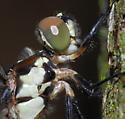dragonfly - Libellula incesta