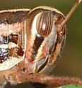 grasshopper - Schistocerca americana