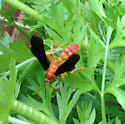 dark-winged cranefly? - Trogus pennator