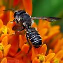 Leaf-cutter bee - Megachile relativa? - Megachile frugalis - male