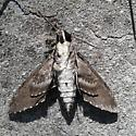 Large Moth with Pink Bands