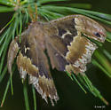 large moth - Callosamia angulifera