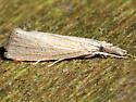 Eoreuma densella - Eoreuma densellus
