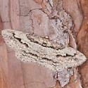 Iridopsis pergracilis - female