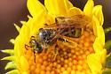 Bee 8921 - Lasioglossum - female