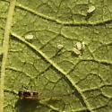 aphid - Rhopalomyzus lonicerae