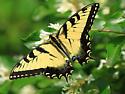 Eastern Tiger Swallowtail - Papilio glaucus ? - Papilio glaucus