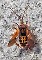 Western Conifer Seed Bug - Leptoglossus occidentalis