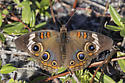 Junonia coenia - Common Buckeye with irdescent blue wings - Junonia coenia - female