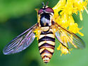 Syrphid Fly - Epistrophella emarginata
